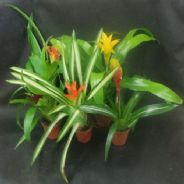 Bromeliad Species - Mixed - 5 plants